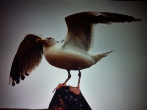 Hans Seagull photo